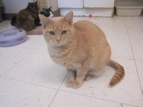 Domestic Short Hair - Buff - Floppy - Small - Young -