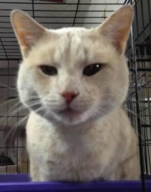 Domestic Short Hair - Buff - Sammy - Medium - Adult -