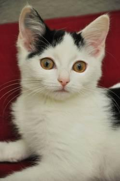 Domestic Short Hair - Carley - Small - Baby - Female -