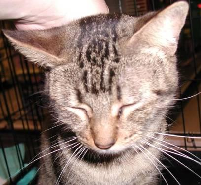 domestic short hair   cat   medium   adult   female   cat