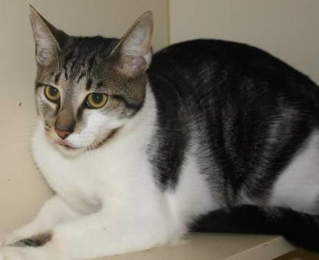 Domestic Short Hair - Daisey - Medium - Adult - Female