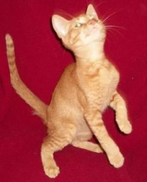 Domestic Short Hair - Delwin - Small - Baby - Male -