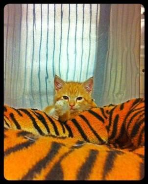 Domestic Short Hair - Dexter - Medium - Baby - Male -