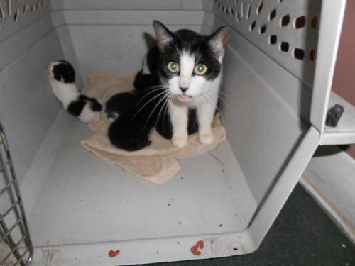 Domestic Short Hair - Dollar - Medium - Adult - Female