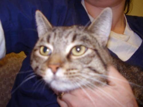 Domestic Short Hair - Donovan - Medium - Adult - Male -