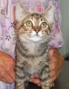 Domestic Short Hair - Dottie - Small - Baby - Female -