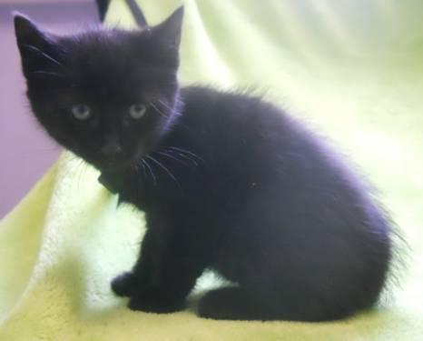 Domestic Short Hair - Elanore - Medium - Baby - Female