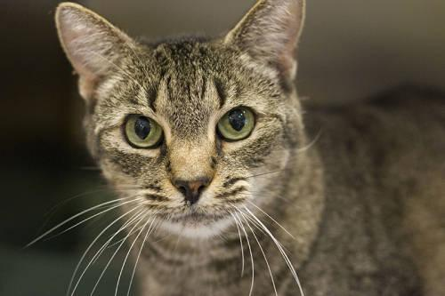 Domestic Short Hair - Friskers - Large - Adult - Female