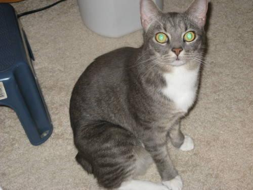 Domestic Short Hair - Gray and white - Titanna - Medium