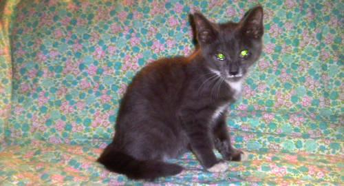 Domestic Short Hair - Gray and white - Tulip - Small -