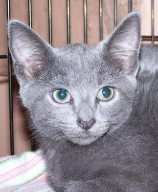 Domestic Short Hair - Gray - Captain Jack - Medium -