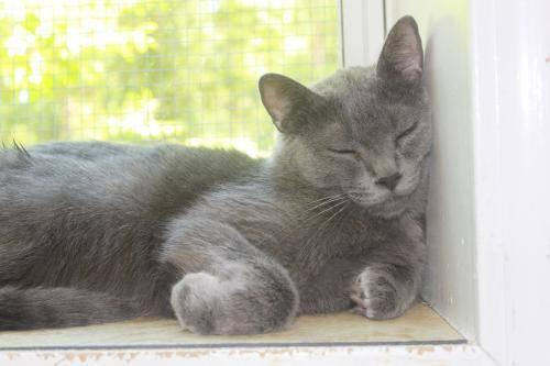 Domestic Short Hair - Gray - Galen - Medium - Baby -