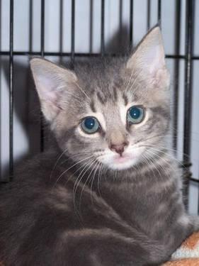 Domestic Short Hair - Gray - Larry - Medium - Adult -