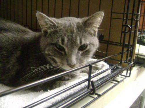 Domestic Short Hair - Gray - Lexi - Medium - Adult -