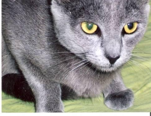 Domestic Short Hair - Gray - Smokey - Medium - Adult -