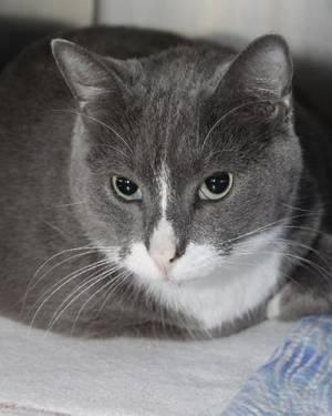 Domestic Short Hair - Gray - Smokey - Small - Adult -