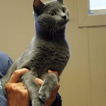 Domestic Short Hair - Gray - Sophia - Medium - Adult -