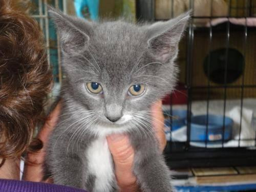 Domestic Short Hair - Gray - Susy - Medium - Baby -