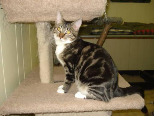 Domestic Short Hair - Ivie Lowe - Medium - Young -