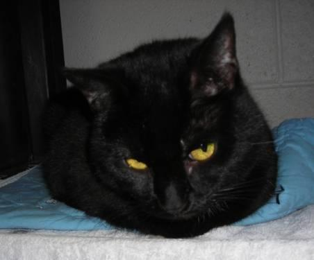 Domestic Short Hair - Jackie - Small - Young - Female -