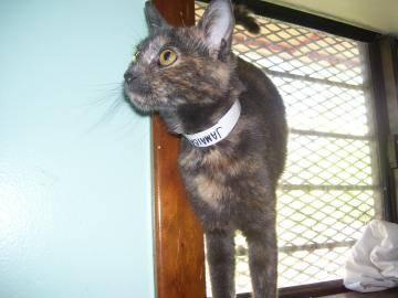 Domestic Short Hair - Jamaica - Medium - Young - Male -
