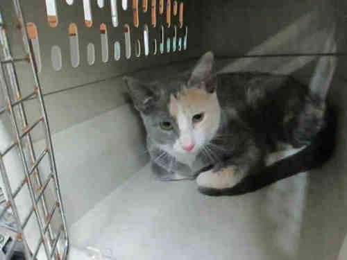 Domestic Short Hair - Kassie - Medium - Young - Female