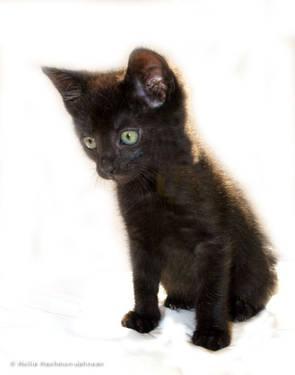 Domestic Short Hair - Kitten 2 - Medium - Baby - Male -