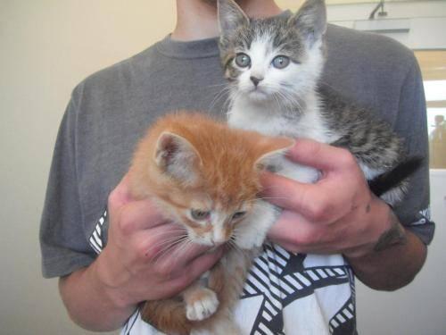 Kitten Short Domestic Short Hair Kittens