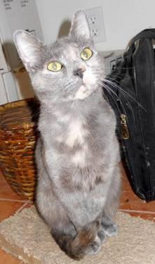 Domestic Short Hair - Lizzie - Medium - Adult - Female
