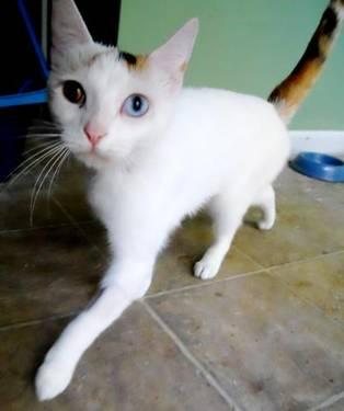 Domestic Short Hair - Loretta - Medium - Adult - Female