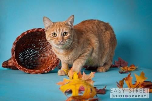 Domestic Short Hair - Lowery - Small - Adult - Female -