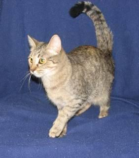 Domestic Short Hair - Maye - Medium - Adult - Female -