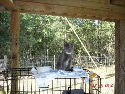 Domestic Short Hair - Ms. Kit - Medium - Baby - Female