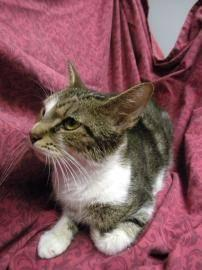 Domestic Short Hair - Nadia - Medium - Adult - Female -