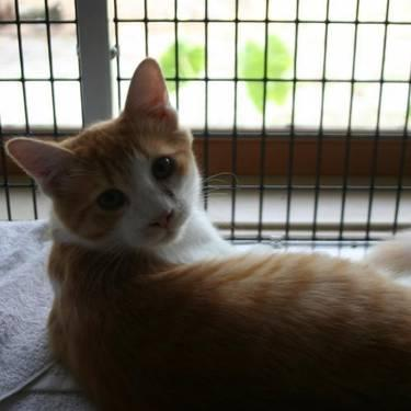 Domestic Short Hair - Orange and white - Aris - Medium