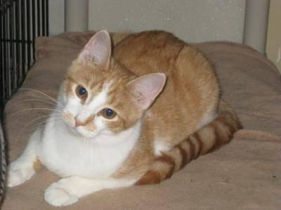 Domestic Short Hair - Orange and white - Butternut -