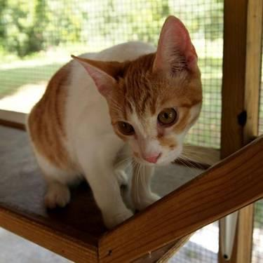 Domestic Short Hair - Orange and white - Dinero -