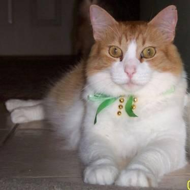 Domestic Short Hair - Orange and white - Erliss -