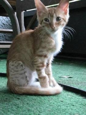 Domestic Short Hair - Orange and white - Georgie -