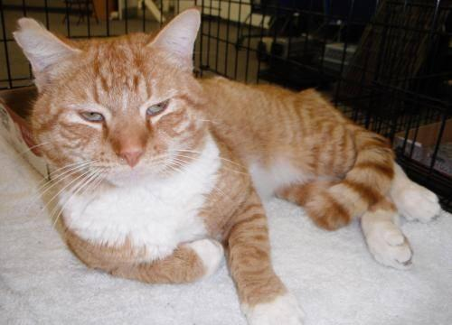 Domestic Short Hair - Orange and white - Izzy - Large -