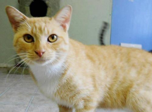 Domestic Short Hair - Orange and white - Mr Ed - Small