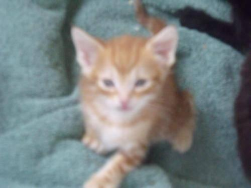 Domestic Short Hair - Orange and white - Peanut -