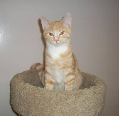 Domestic Short Hair - Orange and white - Tommy Boy -