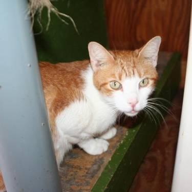 Domestic Short Hair - Orange and white - Vixie - Medium