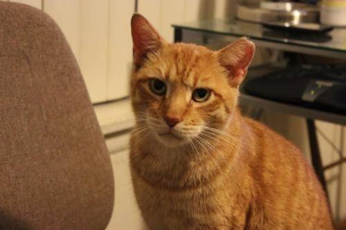 Domestic Short Hair - Orange - Hidalgo - Medium - Adult