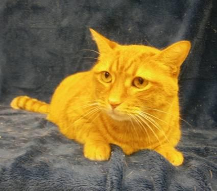 Domestic Short Hair - Orange - Sunshine - Small - Adult