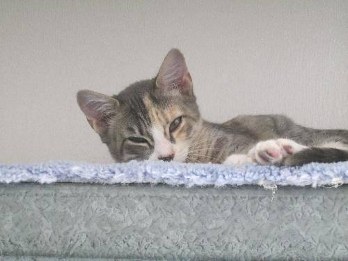 Domestic Short Hair - Pippa - Small - Adult - Female -