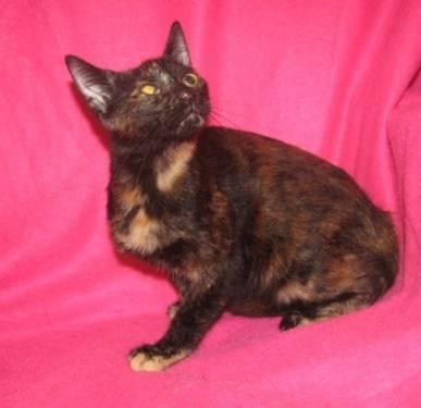 Domestic Short Hair - Rippa - Small - Baby - Female -