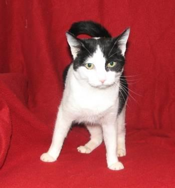Domestic Short Hair - Rita - Large - Adult - Female -