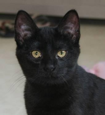 Domestic Short Hair - Rylee - Small - Baby - Female -